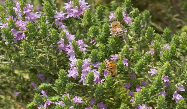 thyme oil for herpes